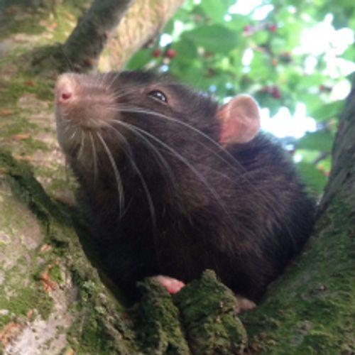 rat-lord