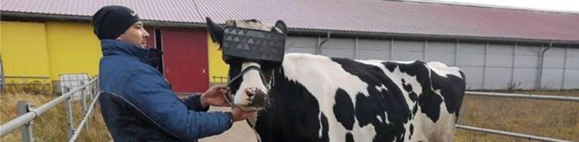 Krávy v Rusku si užívají virtuální realitu